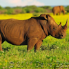 Thumbnail image for Better Late than Never to Save our Rhino's