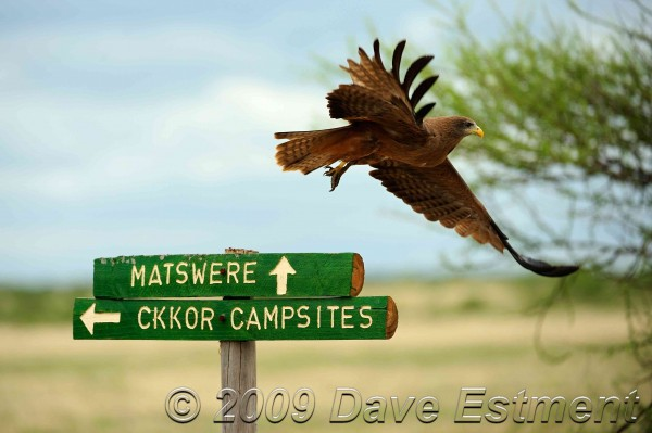 Yellow-billed Kite taking off from a signpost at Central Kalahari Game Reserve, Botswana
