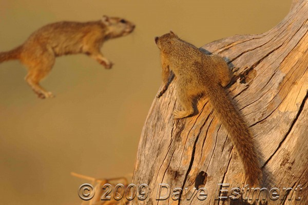 Squirell jumping onto a tree at Okavango Delta, Botswana