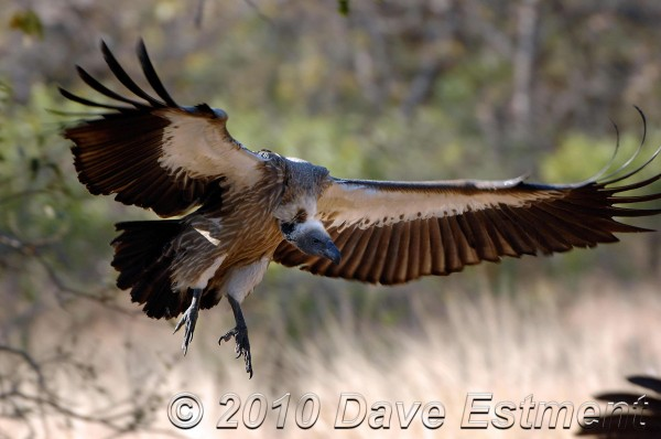 Vultures at Moholoholo rehabilitation centre in South Africa