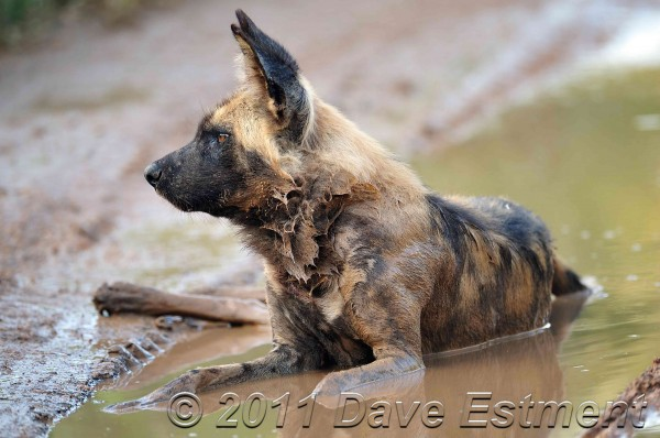 African Wild Dog wallowing in mud