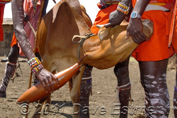 Masai men bleeding a cow in their traditional ceremony