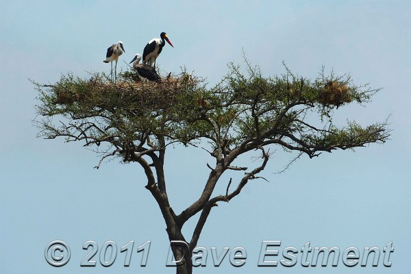 Saddlebilled Storks at the Masai Mara in Kenya