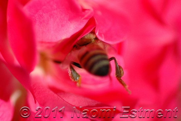 bee gathering nectar from a bright pink rose