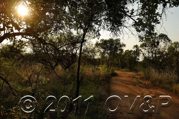 sunlit view down a dirt road on a morning game drive