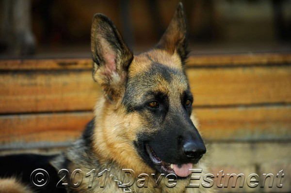 Male German Shepherd