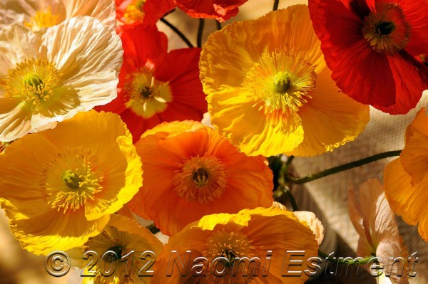 Poppies in a bunch