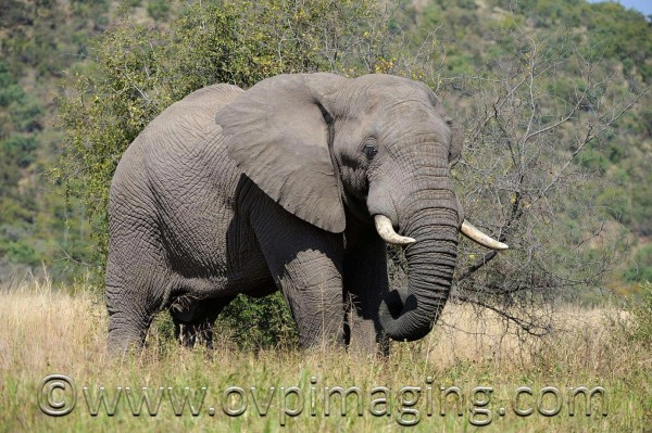 African Elephant - Welgevonden Game Reserve, South Africa