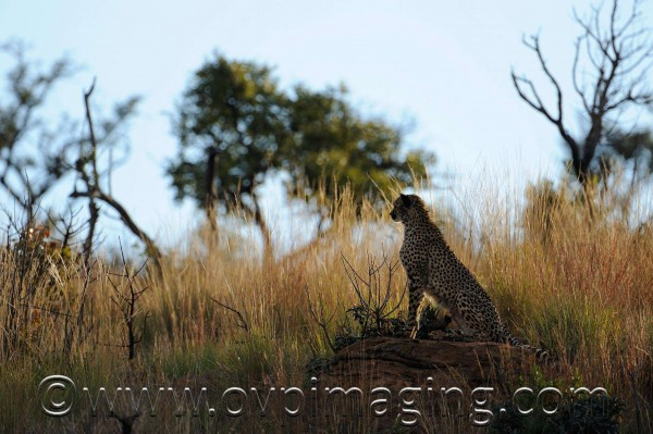 Silhouette of a cheetah