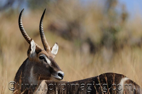 Waterbuck ram - Welgevonden Game Reserve, South Africa