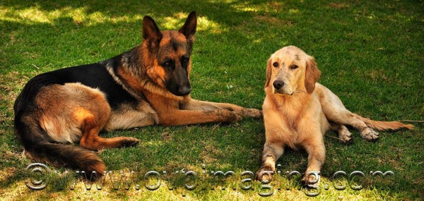 German Shepherd Dog & Golden Retriever puppy