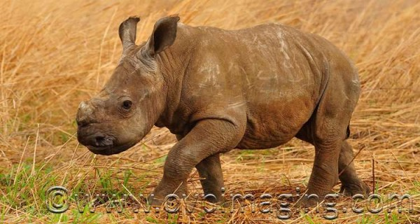 """Smurf"" - the adorable 6 week old rhino calf"